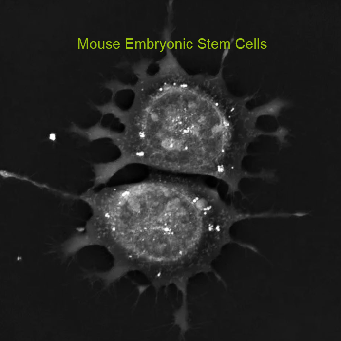 Nanolive - Stem Cell Research